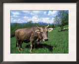 Domestic Cow, Grazing in Unimproved Pasture Tatra Mountains, Slovakia Print by Pete Cairns