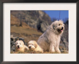Domestic Dogs, Yugoslavian Shepherd Dog with Two Puppies Prints by Adriano Bacchella