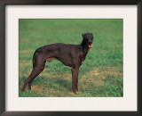 Black Whippet Standing in Field Prints by Adriano Bacchella