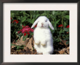 Pet Domestic Holland Lop Eared Rabbit Prints by Lynn M. Stone