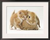 Domestic Kitten (Felis Catus) Next to Bunny, Domestic Rabbit Posters by Jane Burton