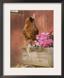 Domestic Chicken, Americana Breed, USA Poster by Lynn M. Stone