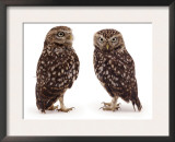 Pair of Little Owls Prints by Jane Burton