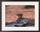 Cheetah Resting, Okavango Delta, Botswana Print by Pete Oxford