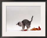 Domestic Cat, 9-Week, Silver Tabby Kitten Playing with Leaves Poster by Jane Burton