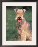 Lakeland Terrier Portrait Poster by Adriano Bacchella