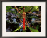 Dragonfly in Ankarana Reserve, Madagascar Prints by Pete Oxford