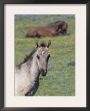 Portrait of Blue Eyed Grulla Colt with Bay Stallion Lying Down, Pryor Mountains, Montana, USA Prints by Carol Walker