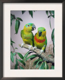 Salvadori's Fig Parrots, Pair (Psittaculirostris Salvadorii) Prints by  Reinhard