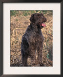 Korthal's Griffon / Wirehaired Pointing Griffon Portrait Prints by Adriano Bacchella