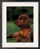 Irish / Red Setter Puppy Lying on Grass Print by Adriano Bacchella