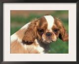 King Charles Cavalier Spaniel Puppy Portrait Prints by Adriano Bacchella