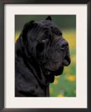 Black Neopolitan Mastiff Portrait Posters by Adriano Bacchella