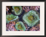 Giant Green Anemones, Olympic National Park, Washington, USA Posters by Georgette Douwma