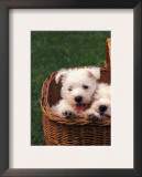 Domestic Dogs, Four West Highland Terrier / Westie Puppies in a Basket Prints by Adriano Bacchella