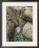 Giant Green Anemones, and Ochre Sea Stars, Exposed on Rocks, Olympic National Park, Washington, USA Art by Georgette Douwma