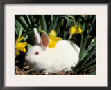 Pet Domestic New Zealand Rabbit and Daffodil Flower Posters by Lynn M. Stone