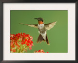 Ruby Throated Hummingbird,Male Feeding on Kalanchoe Flower, New Braunfels, Texas, USA Prints by Rolf Nussbaumer