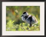 Shelduck Duckling, Belgium, Europe Poster by Bernard Castelein