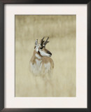 Pronghorn Antelope, Male, Yellowstone National Park, Wyoming, USA Posters by Rolf Nussbaumer