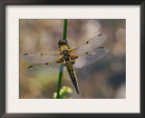 Four-Spotted Libellula Dragonfly Resting, Wings Spread, Scotland, UK Posters by Duncan Mcewan