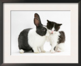 Black-And-White Kitten with Blue Dutch Rabbit Posters by Jane Burton