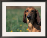 Smooth / Short-Haired Segugio Italiano Hound Portrait Posters by Adriano Bacchella