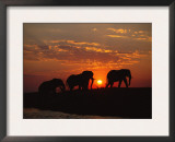African Elephant Bulls Silhouetted at Sunset, Chobe National Park, Botswana Prints by Richard Du Toit
