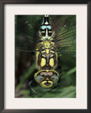 Southern Hawker Dragonfly Head Close-Up, Germany Prints by Hans Christoph Kappel