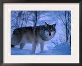 European Grey Wolf Male in Snow, C Norway Posters by Asgeir Helgestad