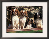 Four Young King Charles Cavalier Spaniels Print by Adriano Bacchella