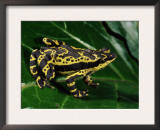 Harlequin Frog, Amazonia, Ecuador Posters by Pete Oxford
