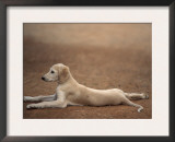 Young Saluki Puppy Lying Down Posters by Adriano Bacchella