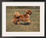 Tibetan Spaniel Running Posters by Adriano Bacchella