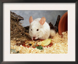 White Long-Tailed Chinchilla Posters by  Steimer