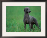 Slate Blue Whippet with Ears Drawn Back Prints by Adriano Bacchella