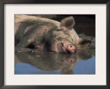 Domestic Pig Wallowing in Mud, USA Prints by Lynn M. Stone