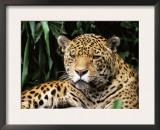 Jaguar Portrait, South America Poster by Pete Oxford