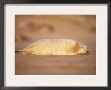 Grey Seal Pup, East Coast, UK Prints by Niall Benvie