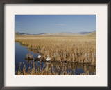 National Elk Refuge, Wyoming, USA, with Pair of Trumpeter Swans at Nest (Cygnus Cygnus Buccanitor} Prints by Rolf Nussbaumer