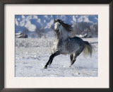 Grey Andalusian Stallion Cantering in Snow, Longmont, Colorado, USA Posters by Carol Walker