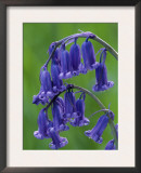 Bluebell Flower, UK Prints by Niall Benvie