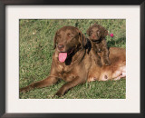 Chesapeake Bay Retriever Dog, Lactating Female and Puppy, USA Poster by Lynn M. Stone