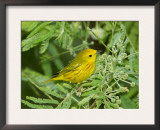 Yellow Warbler, Male, South Padre Island, Texas, USA Art by Rolf Nussbaumer