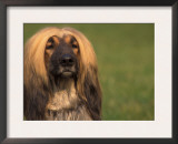 Afghan Hound Face Portrait Prints by Adriano Bacchella