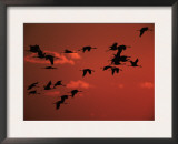 Common Crane, Flock Flying, Silhouettes at Sunset, Pusztaszer, Hungary Print by Bence Mate