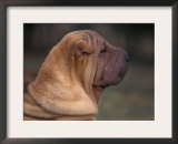 Shar Pei Puppy Profile Posters by Adriano Bacchella