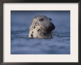 Grey Seal Watching from Water Print by Niall Benvie