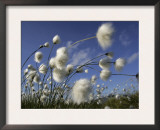 Cotton Grass, Blowing in Wind Against Blue Sky, Norway Prints by Pete Cairns