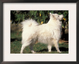 Japanese Spitz Standing and Looking Up Posters by Adriano Bacchella